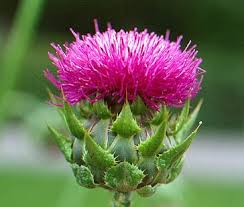milk thistle image